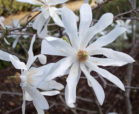 多治見市の木は「シデコブシ」花は「キキョウ」